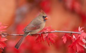 кардинал, птица, ветка, осень