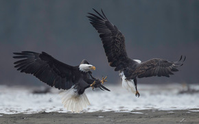 eagle, fight, birds