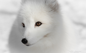 volpe artica, bianco, volpi, volpe polare, inverno, nevicata