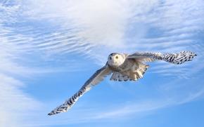 Snowy Owl, Snowy Owl, bird