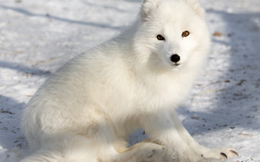 arctic fox, white, foxes, polar fox, winter, snow
