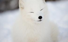 le renard arctique, blanc, renards, le renard polaire, hiver, neige