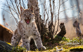 lynx, Lynx, rysyata, rysenok, cat, cat, wildcats, nature, animals