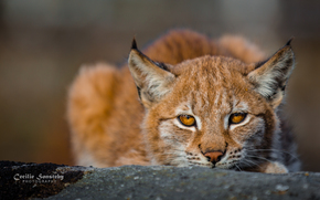 рысь, рыси, рысята, рысенок, кошка, кошки, дикие кошки, природа, животные
