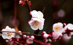 cherry blossoms, Flowers, BRANCH, flowering, flora