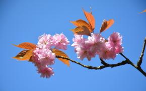桜, フラワーズ, BRANCH, 開花, フローラ