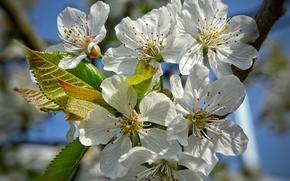 fiori di ciliegio, Fiori, FILIALE, fioritura, flora