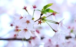 Cherry Blossoms, цветы, ветки, цветение, флора