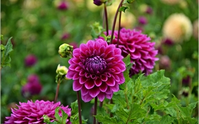 dahlia, flower, flora