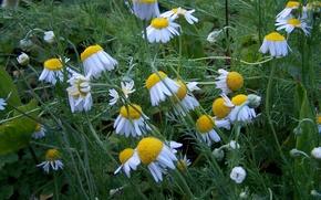 поле, ромашки, цветы, флора