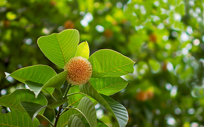 Neolamarckia cadamba, impianto, FILIALE, fogliame, frutta, natura