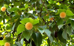 Neolamarckia Cadamba, растение, ветки, листья, плоды, природа