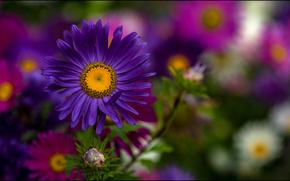 Callistephus, aster, flor, flora