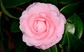 Camellia japonica, kwiat, flora