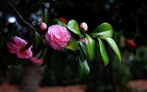 camelia, fiore, flora