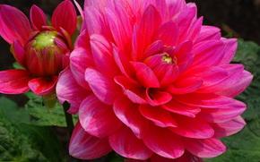 Dahlia, георгин, цветок, флора
