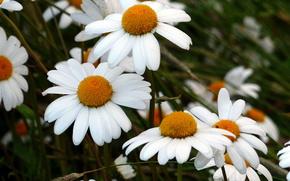 campo, Manzanilla, Flores, flora