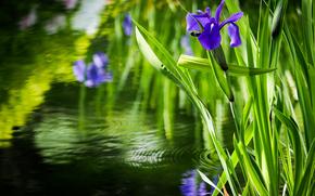 池塘, 花, 鸢尾花, 植物群