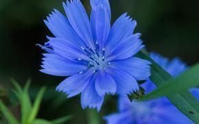 acianos, Flores, Macro, flora