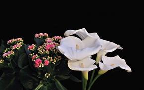 Каллы, Калла, цветы, флора