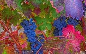 foliage, BERRY, fruit, grapes, nature