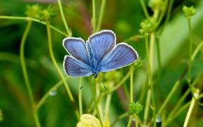 grama, borboleta, Macro