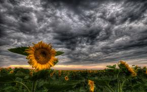 field, Sunflowers, sunset, landscape