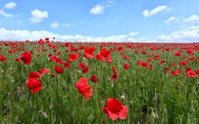 field, Flowers, Poppies, landscape