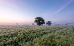 field, trees, DAWN, fog, landscape