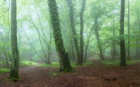 forêt, arbres, brouillard, nature