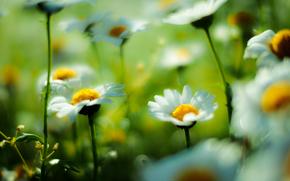 поле, ромашки, цветы, макро