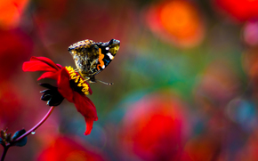 flower, butterfly, Macro