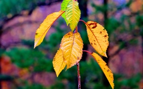 ramo, fogliame, autunno, Macro