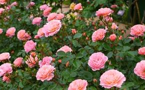 Roses, BUDS, krzak