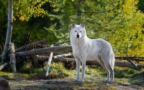lupo, predatore, foresta