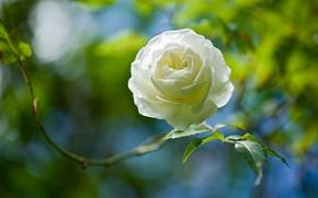 White Rose, rose, BUD, Macro, bokeh