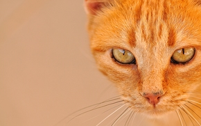 cat, COTE, cat, Redhead, muzzle, view, eyes, mustache, portrait