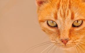 gatto, COTE, gatto, Redhead, museruola, visualizzare, occhi, baffi, ritratto