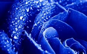 цветы, цветок, роза, розы, капли, вода, роса, макро