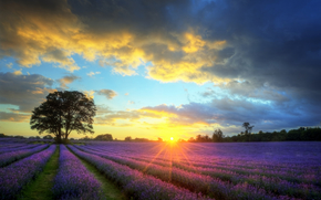 field, lavender, Flowers, Lavender Field, sky, sunset, tree, landscape, nature, clouds, sun