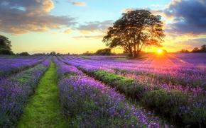 поле, лаванда, цветы, лавандовое поле, небо, закат, дерево, пейзаж, природа, облака, солнце