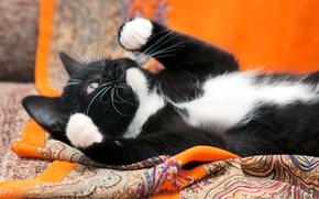 COTE, kitten, black-white, cat, cat, Kittens, photoshoot, background, orange, cloth, material