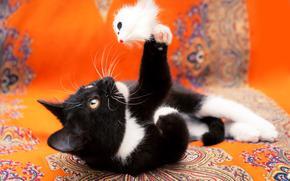COTE, gatinho, preto e branco, gato, gato, Gatinhos, photoshoot, fundo, laranja, pano, material