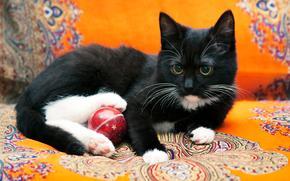COTE, 子猫, 黒白, 猫, 猫, 子猫, 写真撮影, 背景, オレンジ, 布, 素材