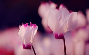 flor, Flores, ciclamen, ciclamen, flora, plantas, Macro