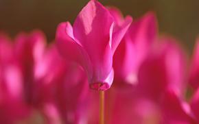 fiore, Fiori, ciclamino, ciclamini, flora, piante, Macro