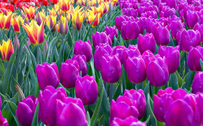 TULIPS, フラワーズ, 花, マクロ, 美しい花, 美しい花, フローラ