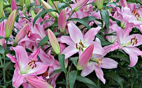 Lilien, Blumen, Blume, Macro, schöne Blume, schöne Blumen, flora