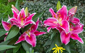 Gigli, Fiori, fiore, Macro, bellissimo fiore, bellissimi fiori, flora