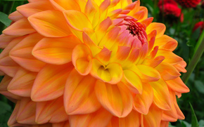 dahlia, Flowers, flower, Macro, beautiful flower, beautiful flowers, flora